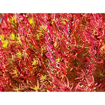 100 Kochia Scoparia Burning Bush Mexican Fireweed Shrub Seeds #SFB : Garden & Outdoor