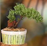 New, Easy Watering Juniper Bonsai, 3-4 Year Old Tree