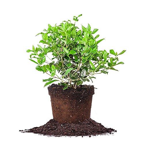 Viburnum Tree - Spring Bouquet Viburnum - Size: 1 Gallon, Live Plant, Includes Special Blend Fertilizer & Planting Guide