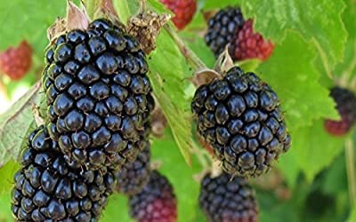 2 Triple Crown Blackberry Plant - 2 year All Natural Grown - Ready for Fall Planting
