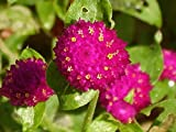 Heirloom 300 Seeds Gomphrena Buddy Gnome Series Globe Amaranth Purple Flower