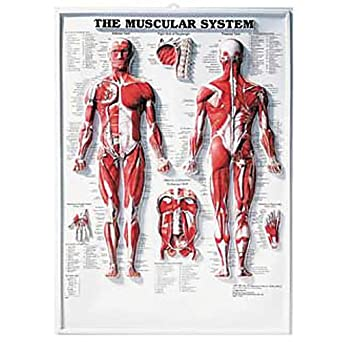Muscular System 3D Raised Relief Chart