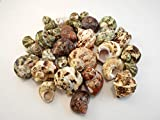 30 Select Assorted Turbo Hermit Crab Shells Lot 3/4''-2'' size (opening 5/8''-1'') Seashells - Includes Polished Tapestry Turbos, Silver Turbos, Silver Mouth Turbos and more.