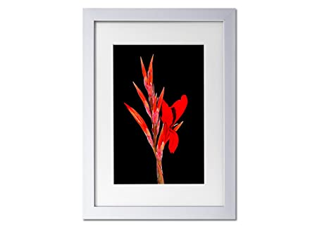 Living Colors Floral Red Night Flower A3 Framed Art Print - White ...