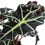 "Amazon Black Shield Plant - Alocasia Polly - Houseplant - 6"" Pot"
