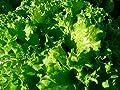 "Leaf Lettuce ""Waldmans Green"" --Soooo Delicious!!!!!!!! Vibrant Green!!!!"