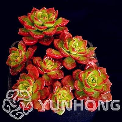 Txdsong - 100pcs 100% Mixed Lotus Bonsai Succulent Plants Rare Plants, Organic : Garden & Outdoor