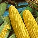 Jubilee Hybrid Corn Garden Seeds - 50 Lb Bulk. - Non-GMO Vegetable Gardening Seeds - Microgreens Shoots