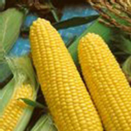 Jubilee Hybrid Corn Garden Seeds - 25 Lb Bulk - Non-GMO Vegetable Gardening Seeds - Microgreens Shoots by Mountain Valley Seed Company
