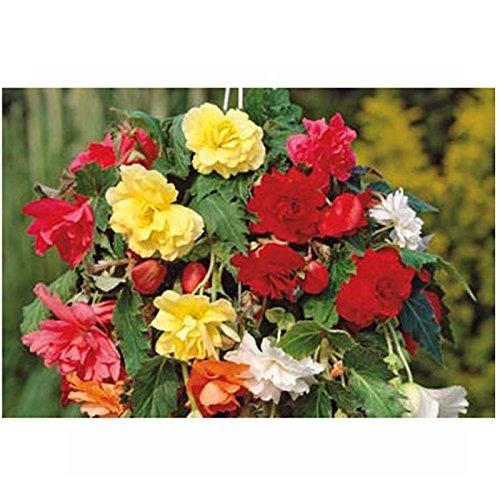 A to Z Begonia Pendula Mixed 4 Bulbs Multi-Colour 9 x 23 x 16 cm