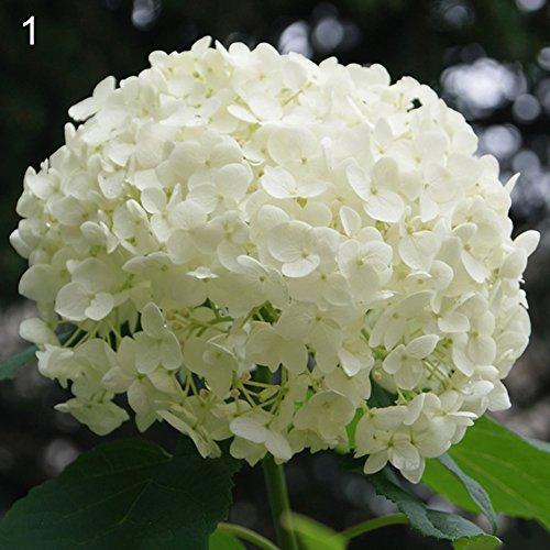 50Pcs Hydrangea Flower Seeds Garden Bonsai Perennial Plant Wedding Party Decor - White Hydrangea Seeds