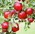 Dwarf Red Delicious Apple Tree - Fruit Delicious as it is Beautiful!