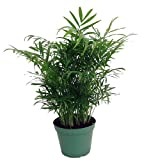 "Shop Succulents Parlor Palm Chamaedorea 6"" Pot"