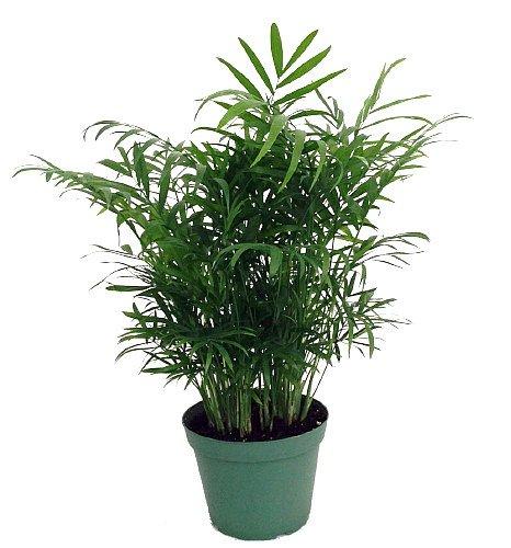 Shop Succulents Parlor Palm Chamaedorea 6'' Pot by Shop Succulents