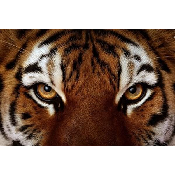 Amazon Com Cu Rong Tiger Face Art Print On Canvas Wall Decor Poster 24x36 Inches Posters Prints