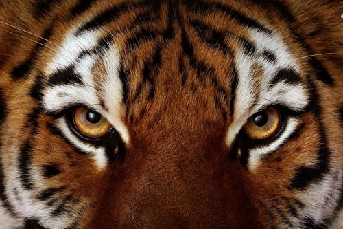 Tiger Face Art Print on Canvas, Wall Decor Poster