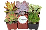 #8: Shop Succulents Unique Succulent (Collection of 5)