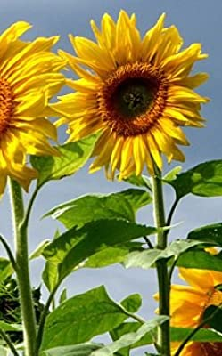"SUNFLOWER GIANT HEIRLOOM (Helianthus annus) ""MAMMOTH GREY STRIPE"" THE QUINTESSENTIAL GIANT WITH MEATY SEEDS APPROX 50 SEEDS"