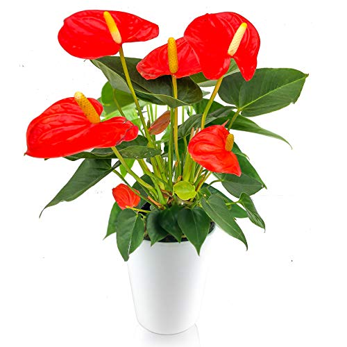 Crisp Plants ANTANDWHIORA4IN Anthurium Orange, 5