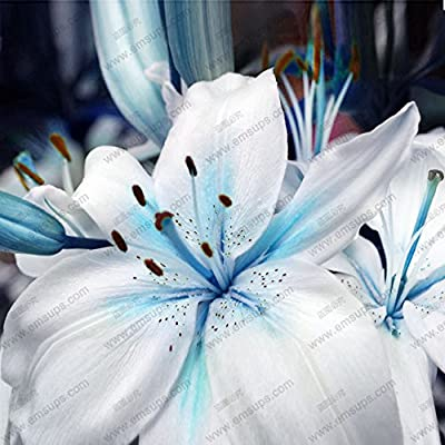 Hot Sale! A Package 50 pieces Lily Seeds Rare Lilium Brownii Bonsai Potted Garden plant Flower Seeds Blue Heart lily Seeds : Garden & Outdoor
