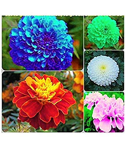 Azalea gardens marigold flower seeds combo blue red pink white azalea gardens marigold flower seeds combo blue red pink white yellow mightylinksfo