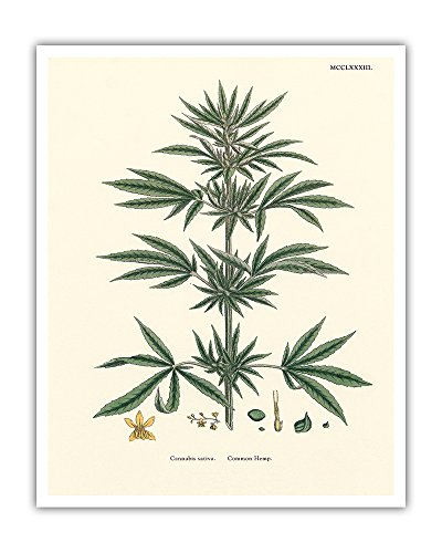 Pacifica Island Art Cannabis Sativa - Common Hemp - Vintage Hand Colored Botanical Illustration by John Sowerby c.1883 - Hawaiian Fine Art Print - 16in x 20in