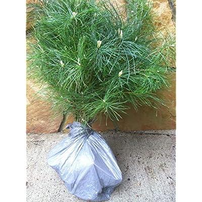 Evergreen Assortment Transplant Seedlings 6
