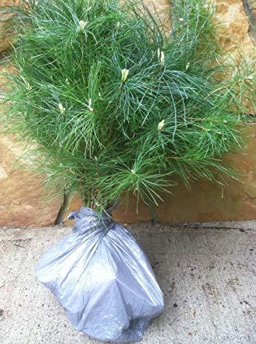 8 Planting White Pine Sapling Trees 12inch Evergreen seedling transplants #HSE by NurserySeedlings.Co (Image #1)