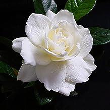 20PCS Gardenia Cape Jasmine Flower Jasmine Gardenia Seed