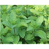 Golden autumn farm -spearmint Mint spearmint Mint 200 perennial root flower seeds …