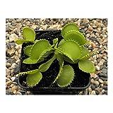 Dionaea muscipula Werewolf - venus fly trap - 3 seeds