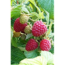 """RASPBERRY ~Red~ """"Heritage"""" ~Produces two big crops a year~ 20+ Perennial Fruit Seeds"""