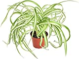 Shop Succulents | 'Bonnie' Curly Spider Hand