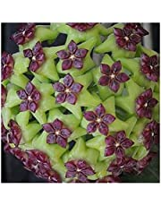Hoya carnosa Green-Violet - Hindu Rope - Wax Plant - 10 Seeds