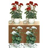 "4 x 18"" Geranium Plants, Artificial Flowers (WITHOUT POTS)"