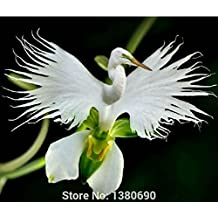 TTmart Japanese Radiata Seeds White Egret Orchid Seeds World's Rare Orchid Species White Flowers Orchidee Garden & Home Planting