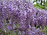20 Purple Wisteria Vine Seeds