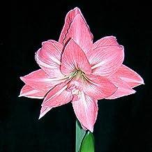 C-Pioneer Beautiful Plants Elvas Double Amaryllis HIPPEASTRUM Seeds - 2 Bulbs