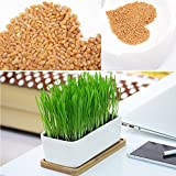 Foliage Plant Organic High Quality Green Wheatgrass 800 Wheat Seeds Great Sprouting Cat Grass Healthy Treat Chemical Free