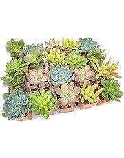 Altman Plants, Live Succulent Plants (20 Pack) Assorted Potted Succulents Plants Live House Plants in Cacti and Succulent Soil Mix, Cactus Plants Live Indoor Plants Live Houseplants in Planter Pots