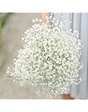 100 pcs Seeds/Color Gypsophila (Baby's Breath) Garden Decoration Popular Easiest-growing Cut Flower High Germination 100Whtie Gypsophila