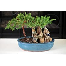 BONSAI Juniper Tree Zen Garden With Pool Fishman