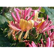 Amazon.com: Honeysuckle Plant - photo #19