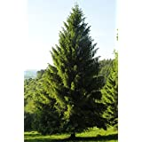 Norway Spruce, Picea abies, Tree 30 Seeds (Evergreen, Fast)