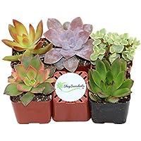 Shop Succulents Unique Succulent (Collection of 5)
