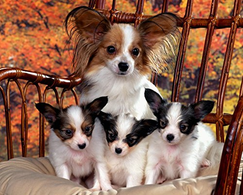 Papillon/Butterfly Dog 8 x 10/8x10 GLOSSY Photo Picture