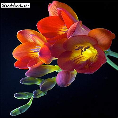 Kasuki 2019 selling100 pcs Freesia Plant, Flowers Orchid Freesia Flower Plants for Home Potted Garden Charming Flowering - (Color: 1)