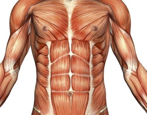 Adhesivo Mural n.º 475 anatomía Masculina, Tatuaje de Pared ...