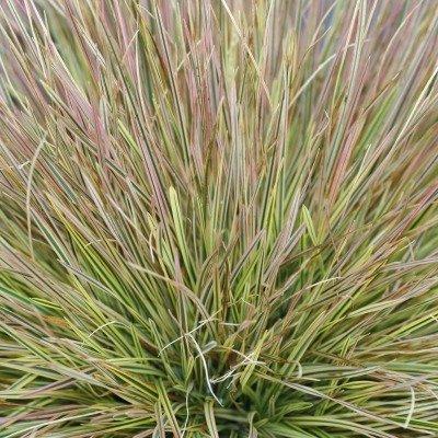 Northern Lights Grass - Size: 1 Gallon (Deschampsia 'Northern Lights')