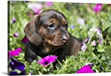 greatBIGcanvas Gallery-Wrapped Canvas entitled Standard Dachshund puppy in summer garden flowers, Monroe, Connecticut by Lynn Stone 30''x20''